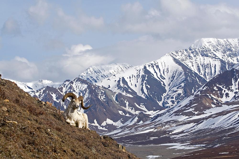 Dall's Sheep, rams, spring, Polychrome Pass, Denali National Park, Alaska. Digital original, ©Robin Brandt #2006_1781