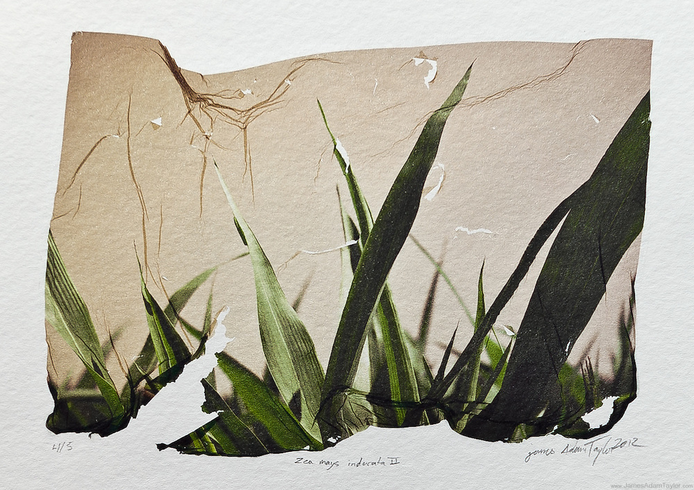 """Description:<br /> Zea mays indurata, Indian Corn growing in a warm summer field.<br /> <br /> Medium: <br /> Acrylic Lift Transfer on water color paper<br /> <br /> Size: <br /> image size is approximately 4.5"""" x 6"""""""" on 8"""" x 9"""" watercolor paper<br /> <br /> Edition size:<br /> 5<br /> <br /> Note: <br /> This is the mature version of what I had begun developing way back in 2004. Each image in the edition has differences in the bends, folds, stretches  and even rips in the thin image containing film. Each print has it's own unique characteristics."""