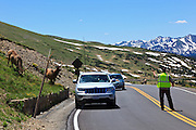 USA, Colorado, Rocky Mountain National Park, a crowd of tourists observes and photographs bull Elk (Cervus elaphus canadensis) along Trail Ridge Road.