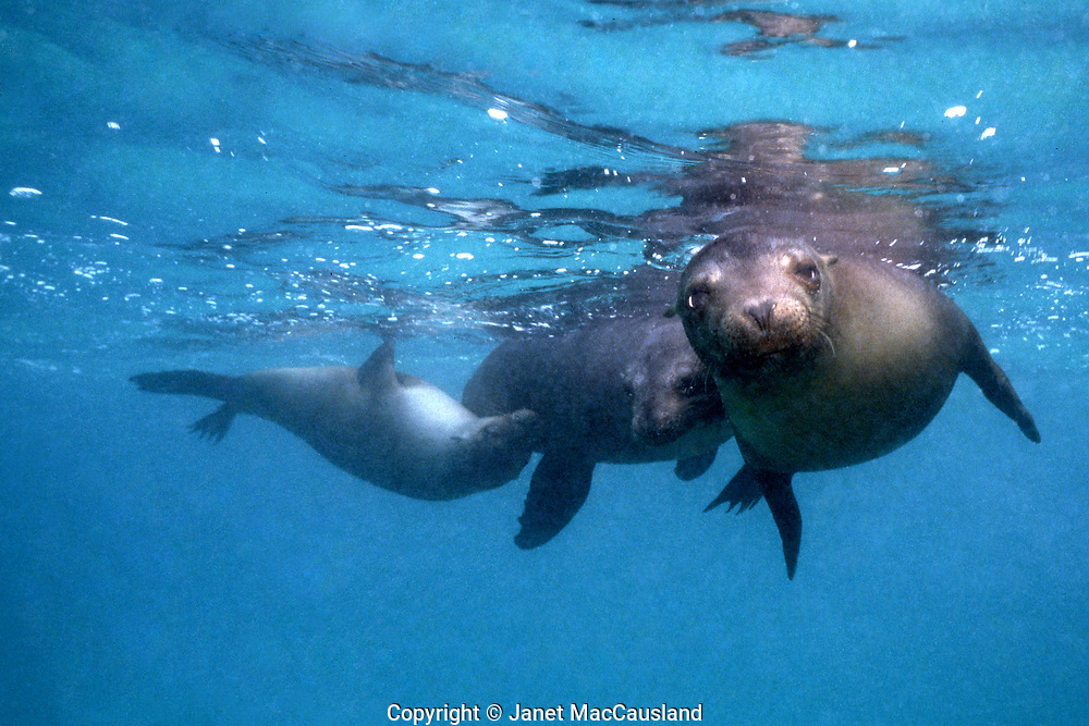 Curious and ready to play, Galapagos Sea lions can be overly exuberant. They are related to the sea lions of California, but are a distinct species. larger file available.