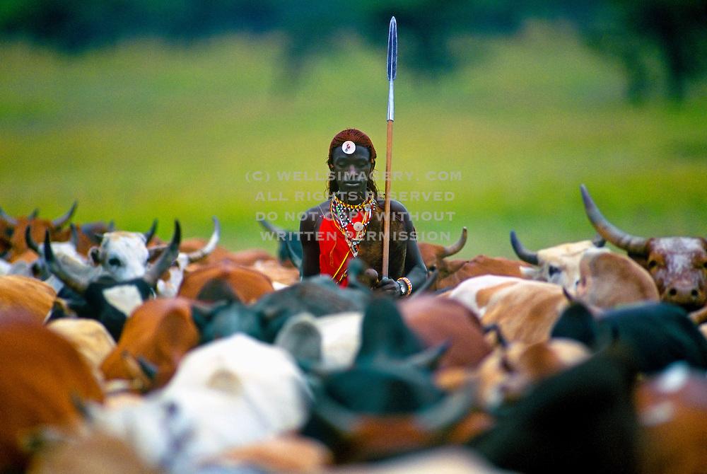 Image of a Masai Mara warrior herding cattle, Masai Mara National Reserve in Kenya, model released by Randy Wells