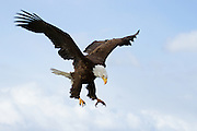 A bald eagle coming in for a landing.