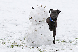 © Licensed to London News Pictures . 21/01/2013 . Manchester , UK . Buddy the dog plays hide and seek with his owner behind a snowman in Lightoaks Park , Salford . Snowy scenes in Salford , Greater Manchester today (21st January 2013) . Photo credit : Joel Goodman/LNP