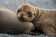 Galapagos Sealion mother & pup (Zalophus wollebaeki)<br /> Urvina Bay, Isabela Island<br /> GALAPAGOS ISLANDS<br /> ECUADOR.  South America