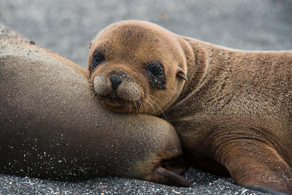 Galapagos Sealion mother & pup (Zalophus wollebaeki)<br /> Urvina Bay, Isabela Island<br /> GALAPAGOS ISLANDS<br /> ECUADOR.  South America