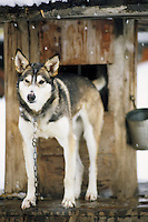 A sled dog stands by its kennel in Jackson Hole, Wyoming.