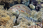 Green Turtle (Chelonia mydas) resting in coral reef - Agincourt reef, Great Barrier Reef, Queensland, Australia. <br /> <br /> Editions:- Open Edition Print / Stock Image