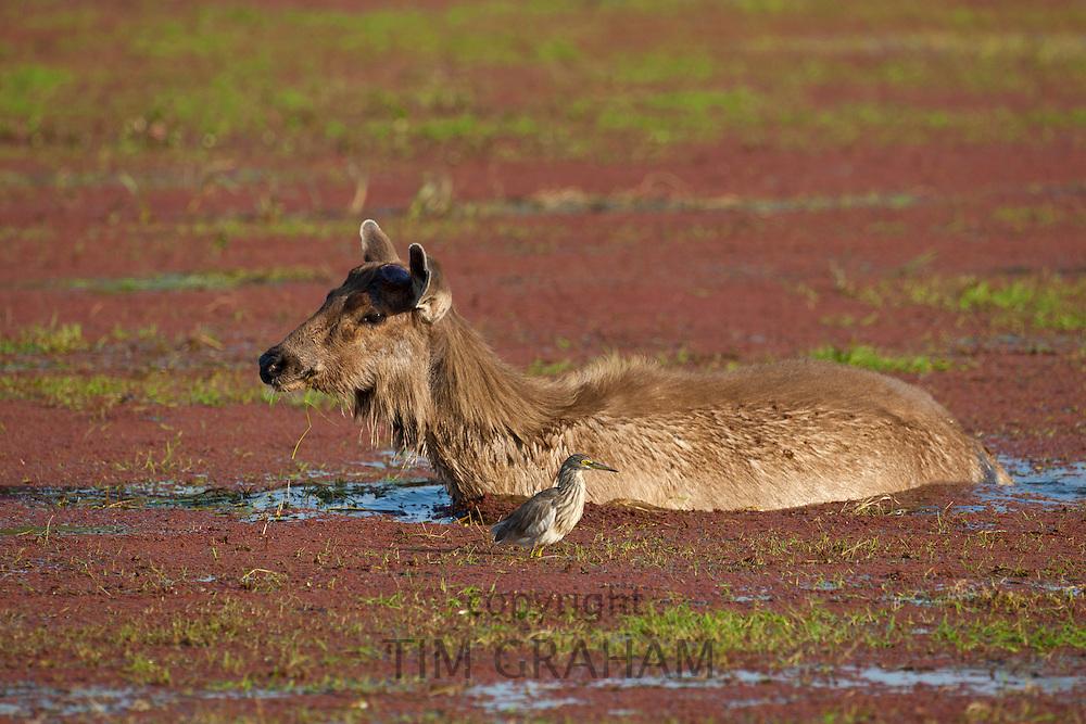 Indian Sambar deer, Rusa unicolor, and Indian Pond Heron in Rajbagh Lake in Ranthambhore National Park, Rajasthan, India