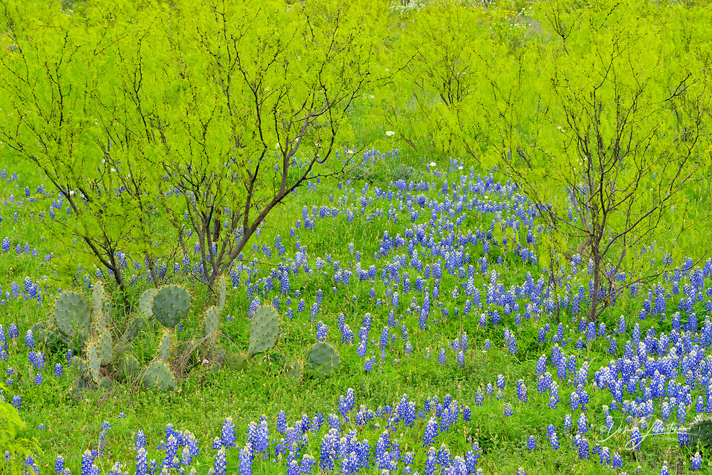 Spring foliage on mesquite trees with flowering bluebonnets, Llano County, Texas, USA