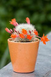 Cactus in flower
