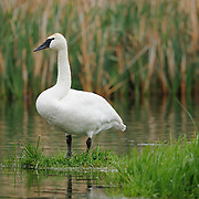 Trumpeter Swan on the Yellowstone River in Yellowstone National Park.