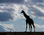 silhouette of a  Reticulated Giraffe (Giraffa camelopardalis reticulata) on a cloudy sky background. Photographed in  Kenya, Samburu National Reserve, Kenya, October