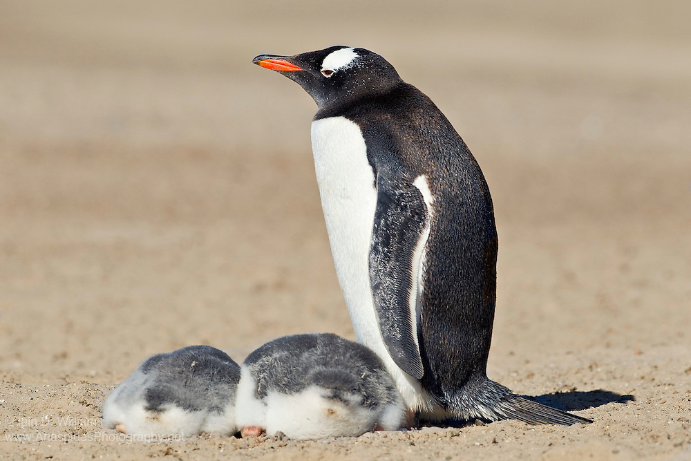 A female Gentoo Penguin (Pygoscelis papua) stand beside her two young in the Falkland Islands