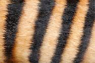 """Zebra Duiker (Cephalophus zebra), close-up coat, zebra duiker is a small antelope live in rainforest in Afrika. The color of the fur varies in different species, which also live in different regions. The Zebra Duiker is characterized by a zebra-like stripe pattern.  The ground color of coat is light to dark brown. On the belly side the coat is brighter. Frankfurt am Main, Hesse, Germany.This picture is part of the series """"Creature's Coiffure""""..Zebra-Ducker (Cephalophus zebra), Fellausschnitt eines Zebra-Ducker. Ducker sind kleine waldbewohnende Antilopen, die in Afrika beheimatet sind. Die Faerbung des Felles variiert bei den unterschiedlichen Arten, die auch jeweils in unterschiedlichen Regionen vorkommen. Das Zebra-Ducker zeichnet sich durch sein zebraartiges Streifenmuster aus. Die Grundfarbe des Felles ist allerdings hell- bis dunkelbraun. Zur Bauchseite hin wird das Fell heller. Frankfurt am Main, Hessen, Deutschland.Dieses Bild ist Teil der Serie ,,Die Frisur der Kreatur"""""""