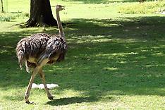 Struthioniformes (Ostriches)