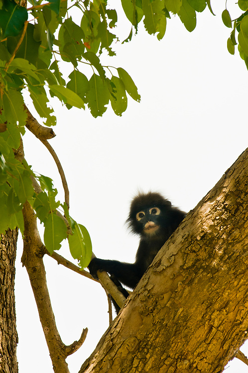 A dusky langur monkey, Ko Wua Talap, one of the islands in the Angthong National Marine Park (42 limestone islands) near Koh Samui (island), Gulf of Thailand, Thailand