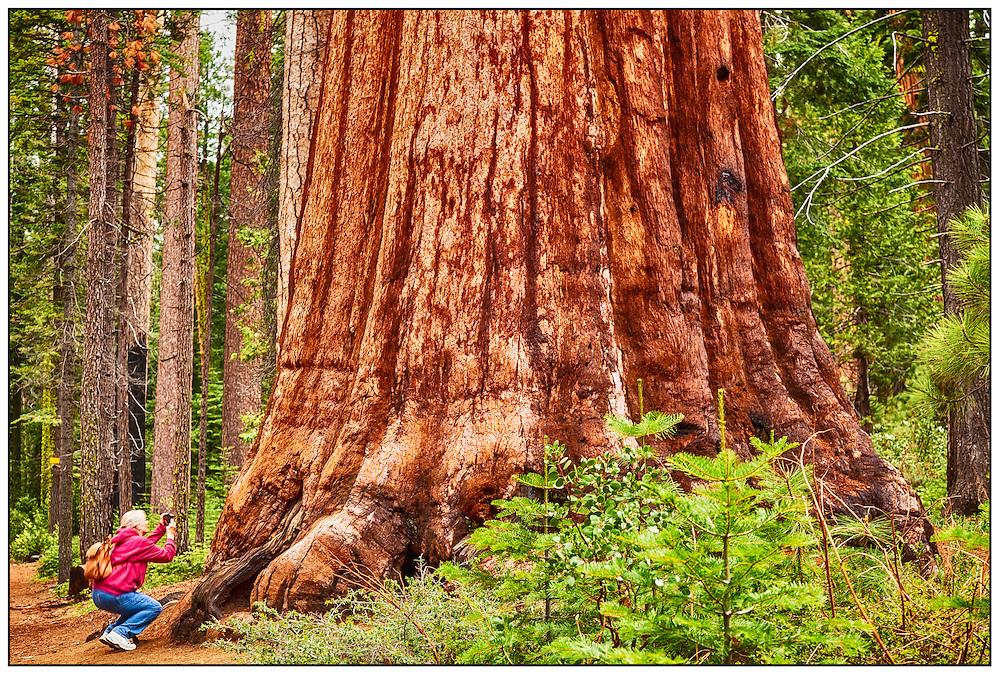 Giant Sequoia in the Mariposa grove, Yosemite National Park, California, USA