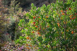 Arbutus unedo - Strawberry tree, Dalmatian strawberry <br /> Killarney strawberry, Cane apple