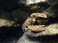 Signal Crayfish<br /> <br /> Todd Pearsons/Engbretson Underwater Photography