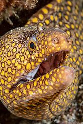 Jewel Moray, Muraena lentiginosa,  Midriff Islands, Sea of Cortez, Mexico