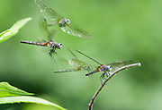As I was watching this female Blue Dasher dragonfly return to the same perch, I used burst mode to catch the action and created this by stacking four images.