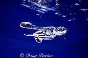 leatherback sea turtle hatchling, Dermochelys coriacea, Vulnerable Species, swims out to sea, Juno, Florida ( Western North Atlantic Ocean )