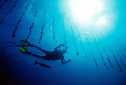 A diver in the French Polynesian island of Muratea inspects oysters at a farm owned by Robert Wan.
