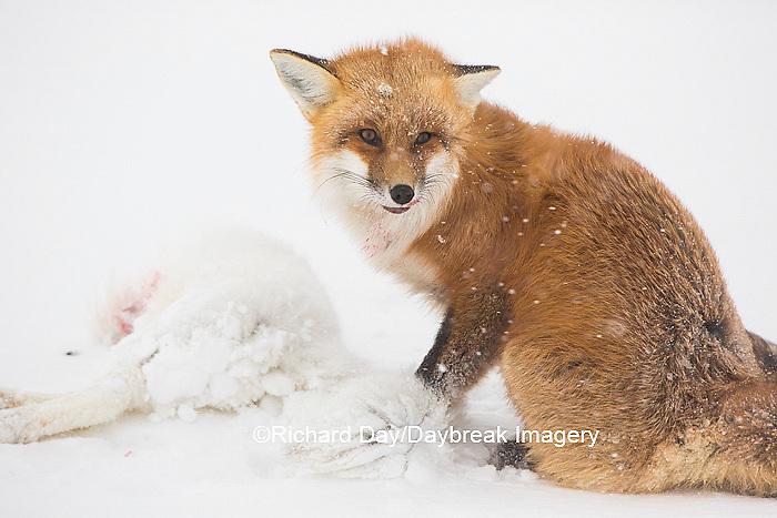 01871-02907 Red Fox (Vulpes vulpes) eating Arctic Fox (Alopex lagopus) at Cape Churchill, Wapusk National Park, Churchill, MB