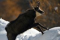 10.11.2008.Chamois (Rupicapra rupicapra). Rutting behaviour..Gran Paradiso National Park, Italy