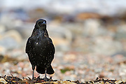 Carrion crow on the beach at Cromarty, on the Black Isle of Scotland.