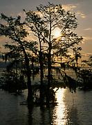 Bald Cypress, Taxodium distichum, Atchafalaya Basin, Louisiana.