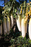 """Daikon or Japanese radishes, are the most popular vegetable in Japan. Pickled, grated, or raw, they are found in nearly every Japanese meal.  Daikon literally """"big root"""" is a type of edible radish known for its very long white root.  The common variety is grown in the shape of a very large carrot. In Japan many kinds of pickles are made of daikon.  Oden, a popular winter soup dish, also features daikon as a principle ingredient.   Outside of Asia they are known as """"Fodder Radish"""".  Its Latin name is Raphanus sativus"""