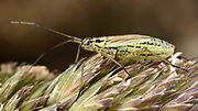 Close-up of a female Meadow plant bug (Leptopterna dolabrata) feeding on a grass-head in a grassy habitat in Norfolk