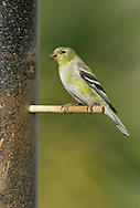 American Goldfinch - Carduelis tristis - Adult female