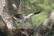 Crested Eagle Chick on Nest (excercising wings)<br />Morphnus guianensis<br />Puerto Maldonado, Amazon Rain Forest.  PERU<br />South America<br />Range: Guatemala to Argentina and Brazil