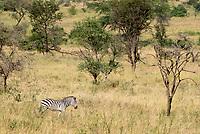 Grant's Zebra, Equus quagga boehmi, in Serengeti National Park, Tanzania