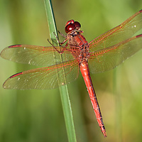 Close-up (dorsal view) of a male Needham's skimmer (Libellula needhami) perched on a blade of grass at Back Bay National Wildlife Refuge, Virginia Beach, Virginia.  One characteristic that seperates this species from the similar golden-winged skimmer is that the inner half of the costa vein is dark rather than light as pictured here.