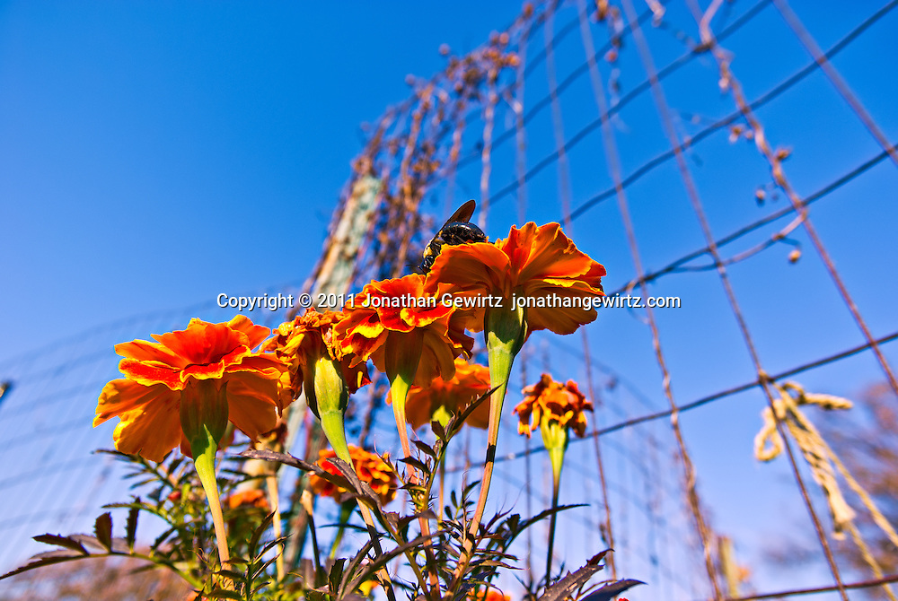 Macro view looking up at a bumble bee feeding on orange marigold flowers in a  garden. WATERMARKS WILL NOT APPEAR ON PRINTS OR LICENSED IMAGES.
