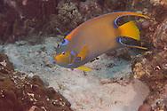 Blue Angelfish, Holacanthus bermudensis<br /> (Goode, 1876), Grand Cayman