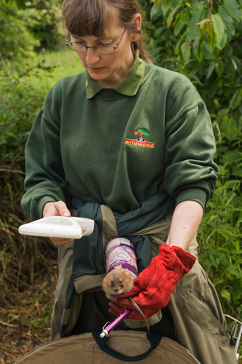 Water vole (Arvicola terrestris),  Kent, UK..Hazel Ryan, Conservation Officer for the Wildwood Trust checks a water vole's identification microchip during a reintroduction at a site in Kent. UK.