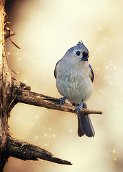 A Tufted Titmouse In A Bare Tree With A Bit Of Sparkle