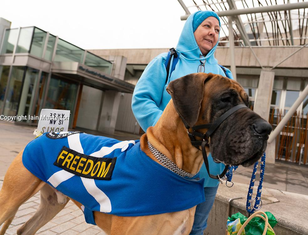 Edinburgh, Scotland, UK. 31 January, 2020. Sheldon the Great Dane dog outside the Scottish Parliament at Holyrood with an anti-Brexit and pro Scottish independence message to Boris Johnson. Iain Masterton/Alamy Live News.