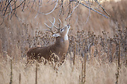 Whitetail buck during the autumn rut in Colorado