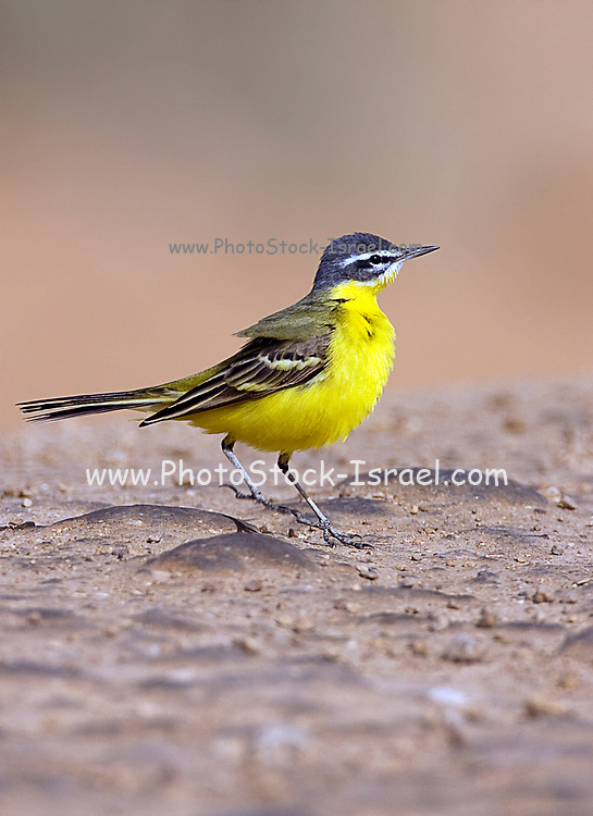 Adult male Blue-headed Wagtail (Motacilla flava flava) Photographed in Israel in March