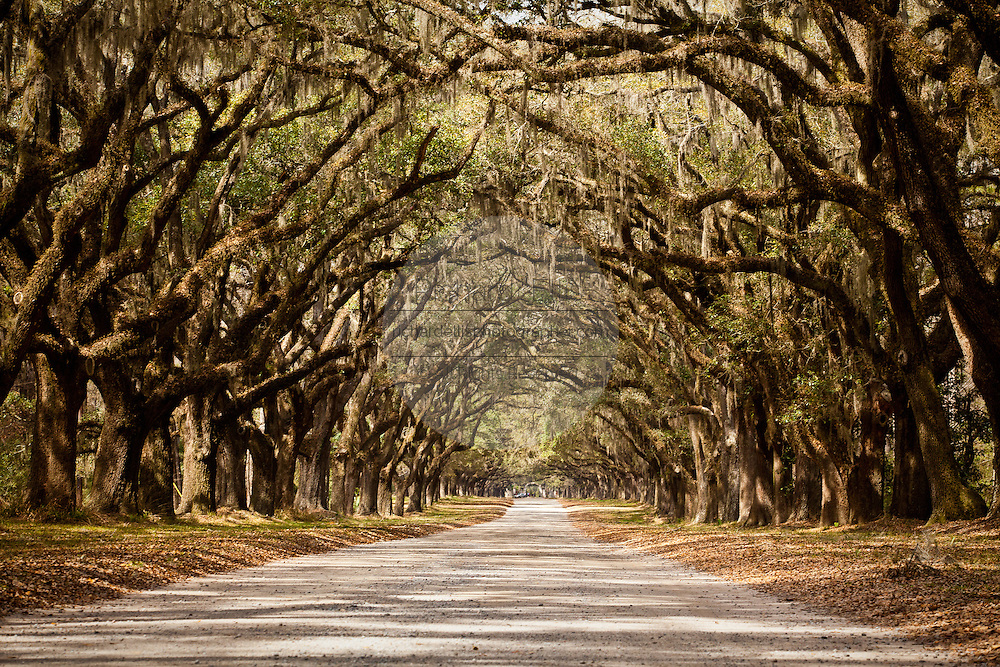 Stately live oak avenue at Wormsloe Plantation in Savannah, Georgia, USA.