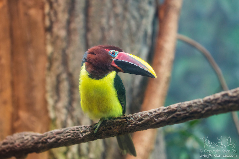 A captive chestnut-mandibled toucan (Ramphastos ambiguus swainsonii) rests on a branch. The chestnut-mandibled toucan is commonly found from eastern Honduras to northern Colombia to western Ecuador.