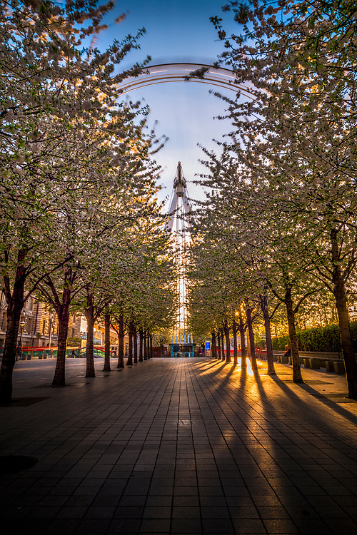 A view of the London Eye in motion along a corridor of flowering trees in the late afternoon