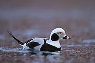 Long-tailed duck or Old-squaw, Clangula hyemalis, Båtsfjord village harbour, Varanger Peninsula, Norway, Scandinavia