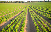 Rows of celery crop growing in a field, Sutton Heath, Suffolk, England