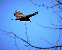 Turkey Vulture soaring. Image taken with a Fuji X-T2 camera and 100-400 mm OIS lens (ISO 200, 261 mm, f/6.4, 1/400 sec).